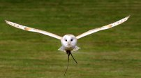 A barn owl in flight. I've been lucky enough to see one in flight like this. Great sight. Image via Pixabay.