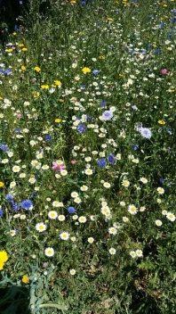 From my local wildflower meadow a few weeks back. Loved the colours. Image by Allison Symes.
