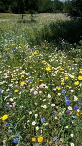 A close up of the wonderful wildflower meadow in my local park. Image by Allison Symes