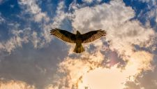 buzzard-3743247__480