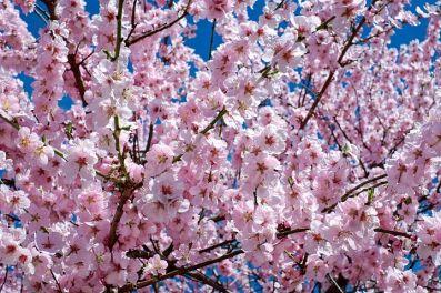 japanese-cherry-trees-2168858__480