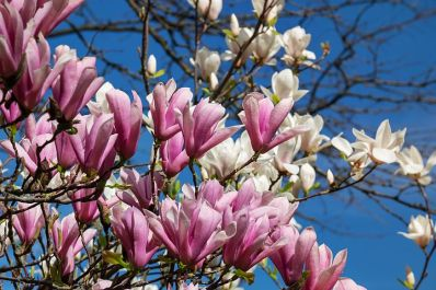 magnolia-3311756__480
