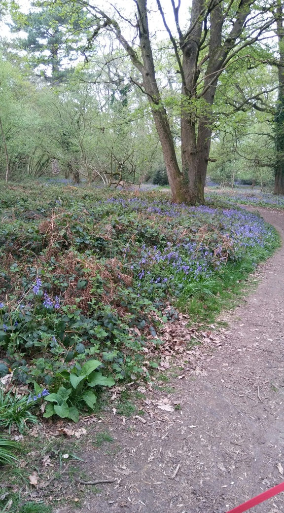 Bluebells in Knightwood